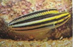 STRIPED FANG BLENNY-MEIACANTHUS GRAMMISTES