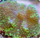 Green Knobby or berrylike coral-Ricordea yuma