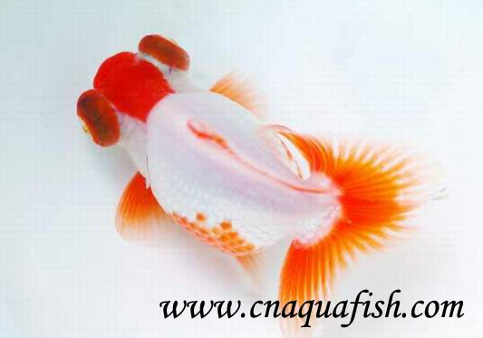 goldfish butterfly for sale