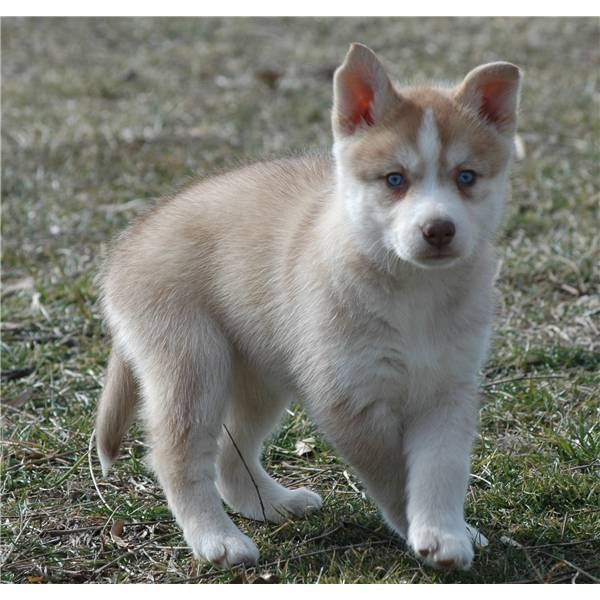 HUSKY PUPPY NOW AVAILABLE