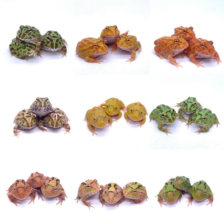 Pacman Frogs