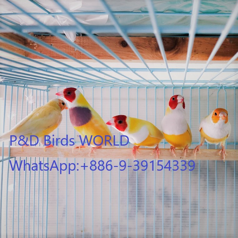 Gouldians finches and live bird