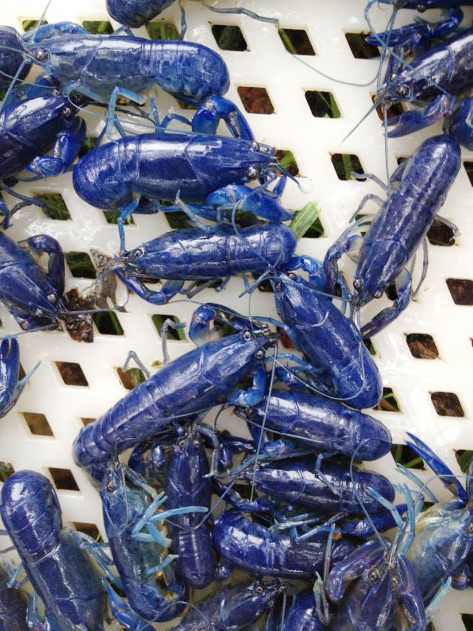 Blue Yabbies Crayfish