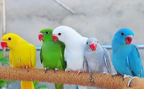 Birds Exporter from Pakistan