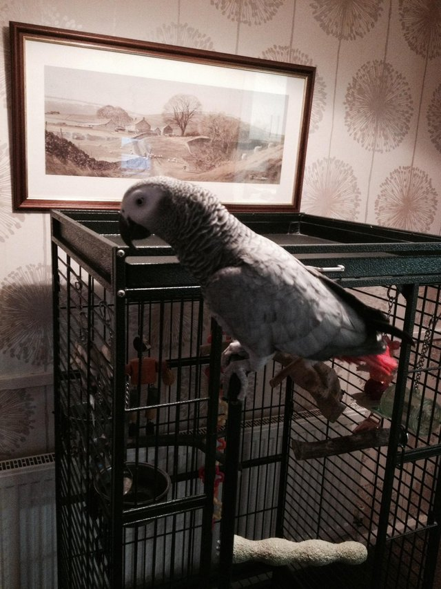 Hand Reared 11 Months Old African Grey Parrots
