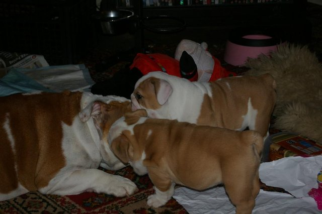 Stunning British Bulldog Puppies