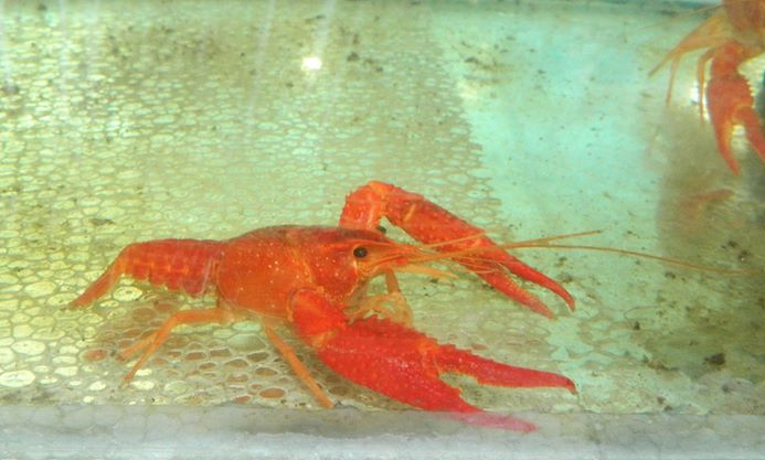 ORNAMENTAL CRAYFISH
