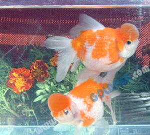 Goldfish-Red & White Crown Pearlscale