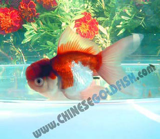 Goldfish-Purple & White Oranda